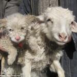 Πρόβατο γέννησε… σκύλο