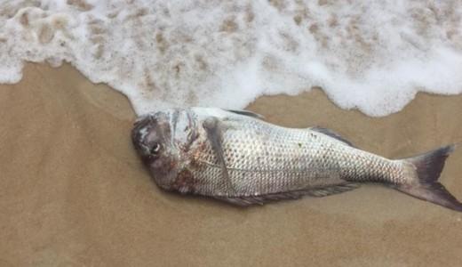 Περισσότερα από 700 νεκρά ψάρια ξεβράστηκαν σε ακτή της Αυστραλίας